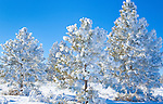 Frost covered trees and branches on a sunny Montana day in winter