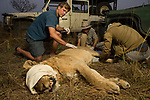 African Lion (Panthera leo) biologists, Milan Vinks, Jonah Gula, and veterinarian, Kambwiri Banda, collaring six year old female lion, Kafue National Park, Zambia