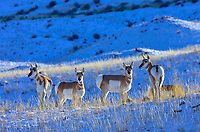 Pronghorn Antelope (Antilocapra americana) on grasslands along northern boundry of Yellowstone National Park, Montana.  December.