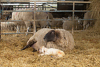 2-3-2021 Ewe with newborn lambs <br />  ©Tim Scrivener Photographer 07850 303986<br />      ....Covering Agriculture In The UK....