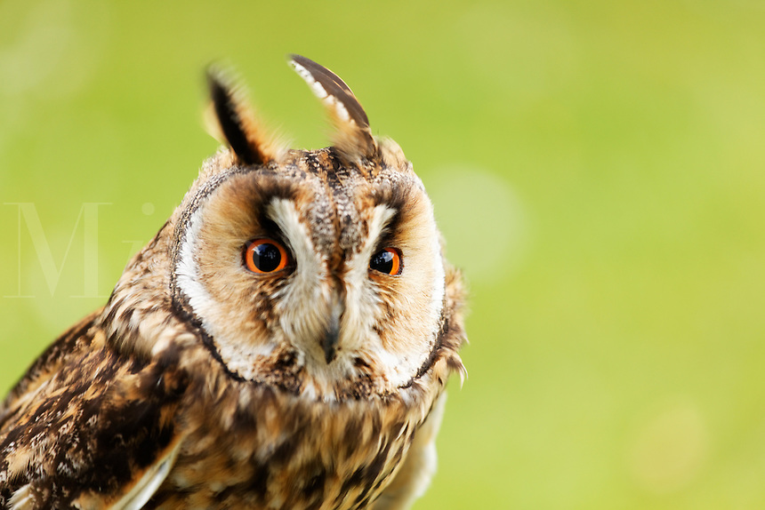 Captive long-eared owl on display at Glenveagh Castle, Glenveagh National Park, County Donegal, Republic of Ireland