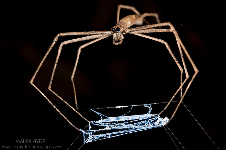 Ogre faced / Net-casting spider {Deinopis sp} with web held between legs that it will stretch over prey that walks below it. Masoala Peninsula National Park, north east Madagascar.