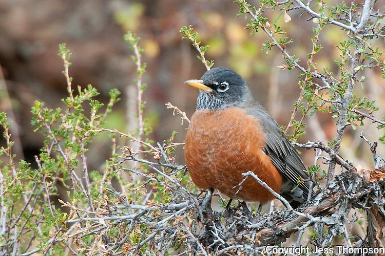 American Robin, Rocky Mountain National Park, Colorado