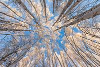 View looking up through Alaska paper birch trees with winter hoar frost, Fairbanks, Alaska.