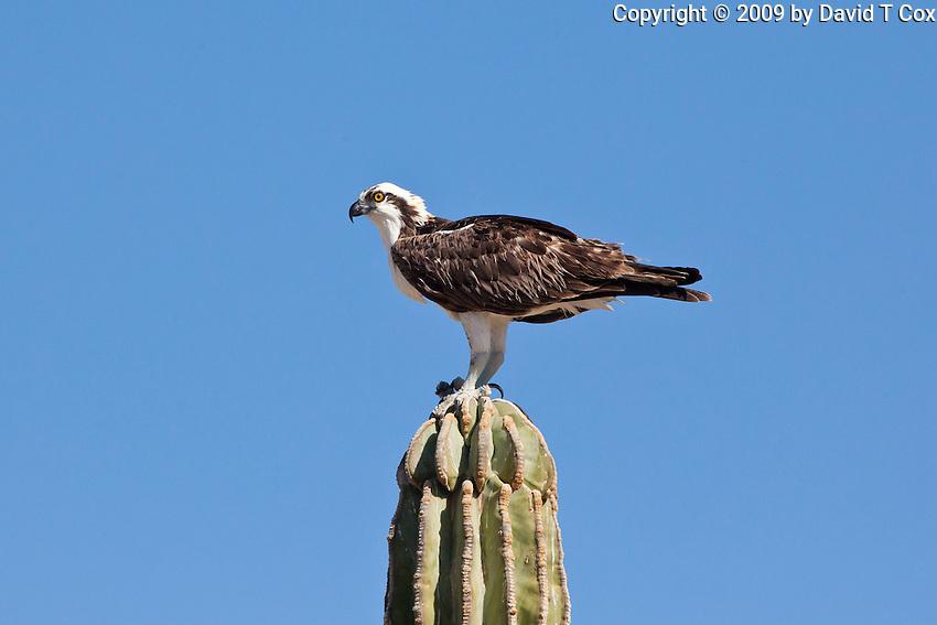 Osprey, Sea of Cortez, Baja, Mexico