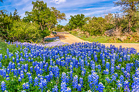 Texas Backroad Bluebonnets - We found this back country road in the Texas hill country with these lovely bluebonnets along this county road.  This was our second trip to the area with a blue sky which gave us some nice contrast on the flowers.  We had been traveling many of the backroad in the hill country looking for bluebonnets and wildflower before we found this road and we really like the bluebonnets in this area.  Texas wildflowers are a seasonal thing that last a few weeks and one thing we have learn is that just when you think they have all gone to seed you may have a section somewhere that pops up later like these along this road.  This too will pass as we notice they were starting to go seed by our seccond trip two days later so maybe we will see them again next year. We can only hope!