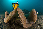 Saddleback Clownfish or Saddleback Anemonefish, Amphiprion polymnus