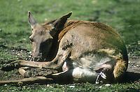 Rothirsch, Rot-Hirsch, Rotwild, Edelwild, Edelhirsch, Hirsch, Weibchen, Kuh, Hirschkuh bei der Geburt eines Kalbes, Cervus elaphus, red deer