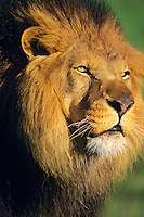 African lion (Panthera leo) male