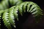 Ferns seen near the Hot Springs Creek Falls on Thursday, June 30, 2011, near Markleeville, Ca. .Photo by Cathleen Allison