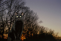 Black cat peers out from dusk on wall with sun setting behing him giving a fiery air to the fall theme of Halloween, Missouri, USA