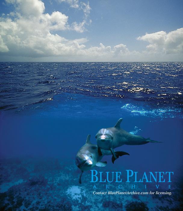 Digital composition A Dolphin World Below - bottlenose dolphins, Tursiops truncatus, Cozumel, Mexico, Caribbean, Atlantic