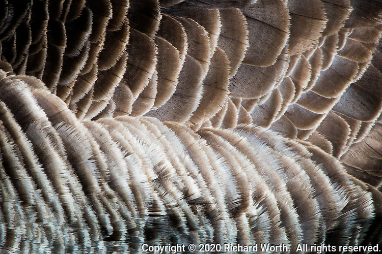 The symetry of feathers on a Canada goose as abstract art.