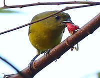 Female heepatic tanager eating fruit