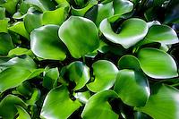 Close up of Hosta leaves. Kauai, Hawaii.