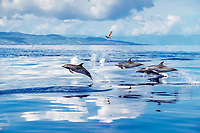Atlantic spotted dolphins, Stenella frontalis, jumping, Azores, Portugal, Atlantic Ocean