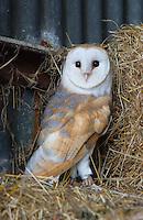 Barn owl close-up.