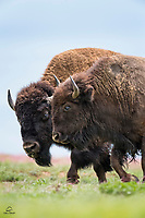 Two Bison (Bison bison) lead a small group of mothers and calves off the ridge.  Wind Cave National Park, South Dakota.