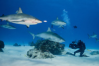 tiger shark, Galeocerdo cuvier, Caribbean reef shark, Carcharhinus perezii, and scuba diver with video, Bahamas, Caribbean Sea, Atlantic Ocean