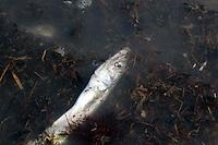 Moria di pesci dovuto a una proliferazione delle alghe..Mortality of fish due to a proliferation of algae......