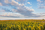 Blue Mound State Park, Minnesota: Field of goldenrod {Solidago speciosa) under a summer sky