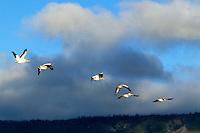 Pelicans in flight at Summer Lake wildlife Refuge, Oregon