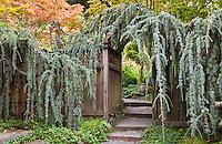 Weeping Blue Atlas Cedar (Cedrus atlantica 'Glauca 'Pendula') trained over entry gate and pathway to California garden