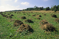 Gelbe Wiesenameise, Gelbe Wiesen-Ameise, Gelbe Wegameise, Bernsteingelbe Ameise, Nest, Ameisennest, Ameisenhügel auf Wiese, Lasius flavus, Cautolasius flavus, Yellow Meadow Ant, formicary