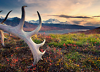 A set of Caribou antlers lie on the fall tundra near the Eielson Visitor's center, Denali is in the background with a sunset sky.