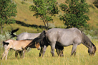 Wild horses grazing.  Western U.S., summer.  Colt is standing so that mothers switching tail keeps biting flies off face.