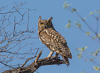 Spotted Eagle Owl at Hakusembe, Namibia