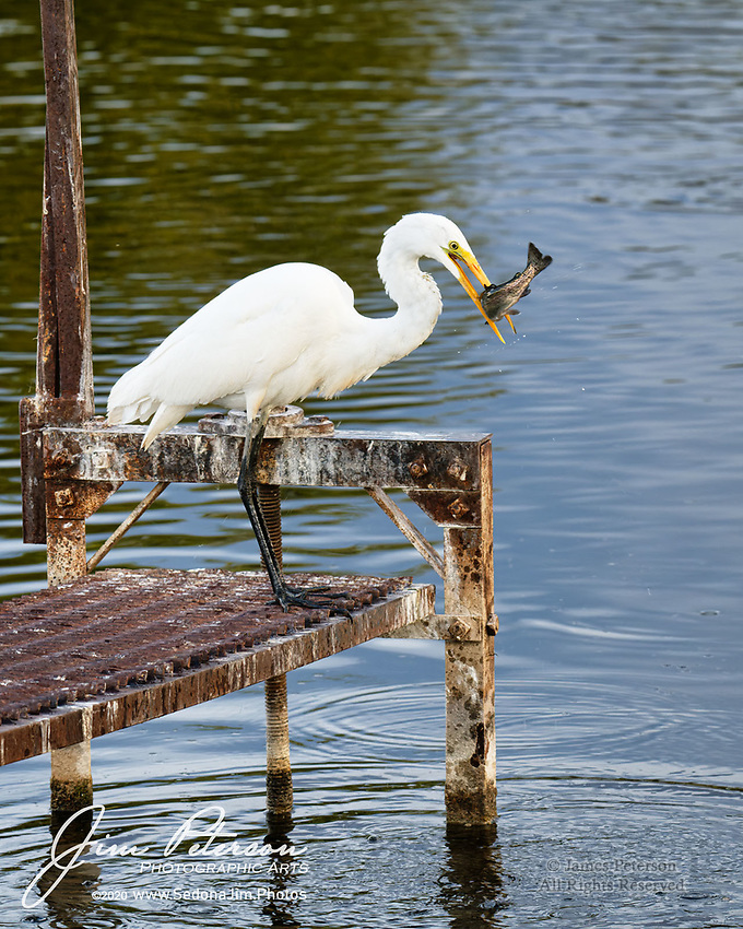 """The Big Gulp.  Have you ever tried to consume an entire meal in a single swallow?  Me neither, but for a Great Egret, that's just business as usual.<br /> <br /> My buddy Eric and I were fortunate enough to catch this discriminating gourmand in the act of seizing and scarfing its breakfast – a sizable rainbow trout - at the Bubbling Ponds Fish Hatchery (Page Springs, Arizona).  The bird was amazingly tolerant of us – it ignored our approach, being instead totally engrossed in its own sustenance.  Priorities are priorities, apparently (and the creature was probably pretty accustomed to birders visiting around these ponds).<br /> <br /> After initially snatching the unfortunate fish, who was more than slightly displeased with the encounter, the egret tossed it around to position it headfirst in its gullet.  Then it was """"down the hatch""""!  Or rather """"down the neck"""" – the descent of the fish towards its final resting place was easy to follow.<br /> <br /> When the trout reached its destination, the Big Gulp was capped off with what seemed to be a Big Belch of Satisfaction.  And when we came by again less than an hour later, the bird was clearly trolling for dessert (but came up empty this time).<br /> <br /> What's remarkable is the degree to which the bird can extend its neck plus how agile and quick it was – so much so that I missed the initial plunge when it caught the fish (but captured a couple others before and afterwards).  For a creature that's basically built like a pterodactyl, it's quite proficient!<br /> <br /> Image ©2020 James D. Peterson"""