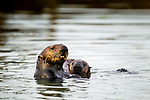 Sea Otter (Enhydra lutris) mother and pup, Elkhorn Slough, Monterey Bay, California