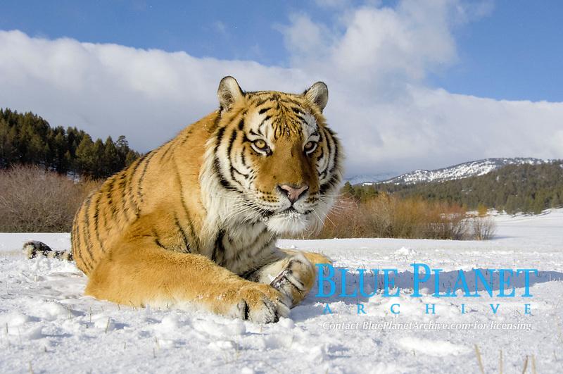 Siberian Tiger (Panthera tigris altaica), adult, laying in snow