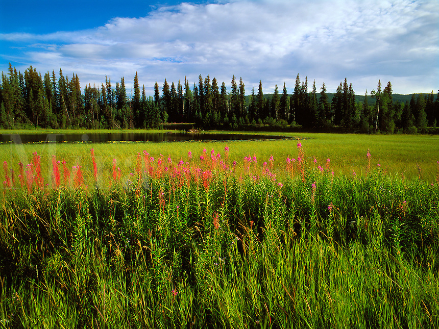 Art in Nature 9607-0188 - Late summer landscape of a wide, green meadow and pond, with fireweed flowers lending a splash of color. Southern Yukon, Canada.