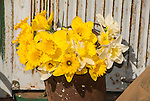 Bouquet of colorful yellow daffodil flowers, McLaughlin's Daffodil Hill in bloom, Volcano, Calif.
