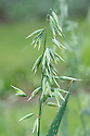 Avena strigosa subsp. typica 'Rauhhafer Aus Neustadt', early July. A form of Lopsided oats, Bristle oats or Black oats.