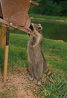 We are all birds! Cute pest-- Raccoon, Procyon lotor, busy trying to get the feeder open for a snack.