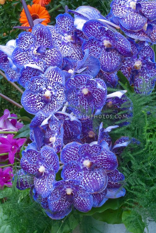 Vanda Blue orchid flowers
