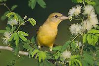 Summer Tanager, Piranga rubra, female on Guajillo (Acacia berlandieri), Willacy County, Rio Grande Valley, Texas, USA