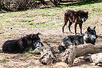 grey wolf 3 shot
