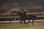 DUBAI,UNITED ARAB EMIRATES-MARCH 23: Jack Hobbs,trained by John Gosden,exercises in preparation for the  at Meydan Racecourse on March 23,2017 in Dubai,United Arab Emirates (Photo by Kaz Ishida/Eclipse Sportswire/Getty Images)