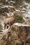 Bighorn Sheep ewe among some colorful rocks and snow in the canyon