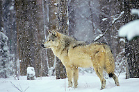 Gray wolf in winter snowstorm.