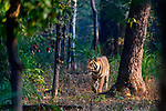 Male Bengal tiger (Panthera tigris tigris) walking through sal (Shorea robusta) forest. Bandhavgarh National Park, Madhya Pradesh, Central India.