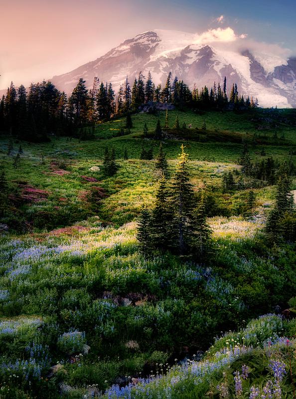 Wildflower meadow and Mt. Rainier in Mt. Rainier National Park, Washington