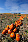 Rows of pumpkins ready to be gathered up to take to market in northeast PA.