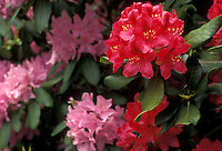 AJ2687, Rhododendrons, flower, A cluster of dark and light pink Rhododendron blossoms surround by green leaves along the BLue Ridge in the Appalachian Mountains.