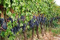 Tempranillo vines in the vineyard. Albet i Noya. Penedes Catalonia Spain