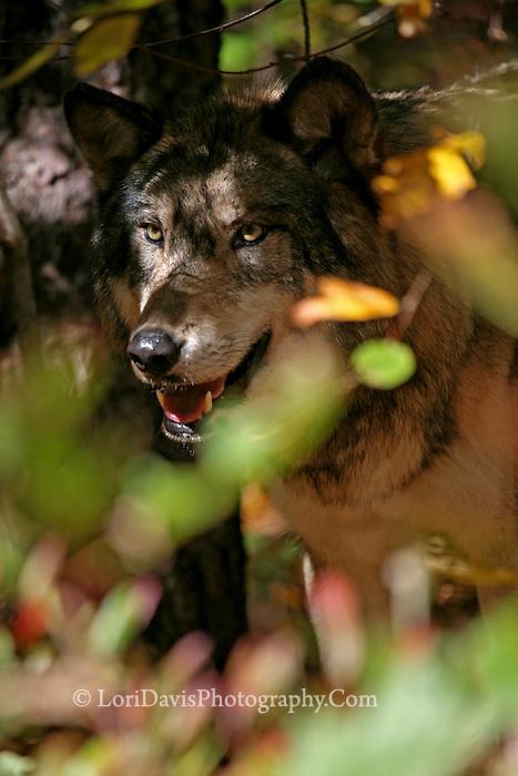 Wolf Peering Through Foliage  #Z14